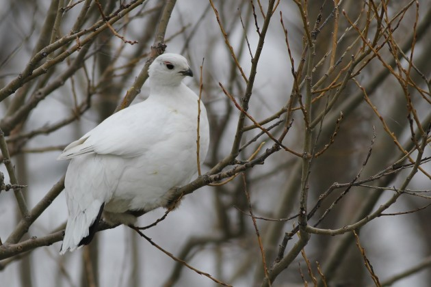 Willow Ptarmigan - Jefferson County, New York (Photo by Alex Lamoreaux)