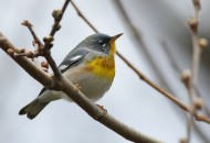 Northern Parula (Photo by Alex Lamoreaux)