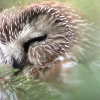 Northern Saw-whet Owl in Owl Woods, Rochester. Digiscoped with iPhone 5s/Phone Skope and Leica APO-Televid 82mm scope.