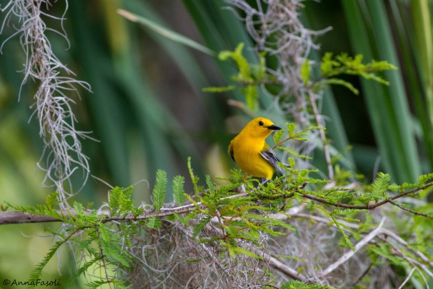 Prothonotary Warbler - male; Lake Charles, Marion County, Florida