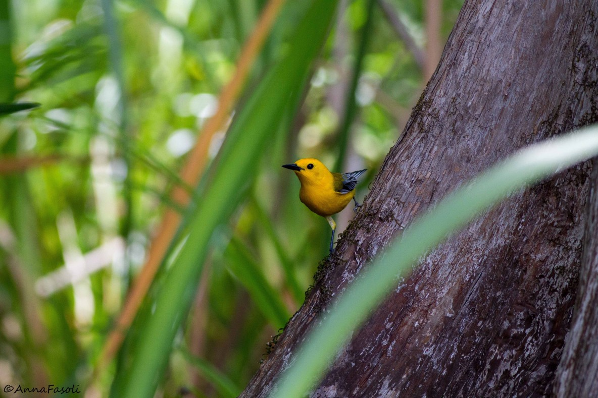 Prothonotary Warbler - male; investigating pink kayak situation