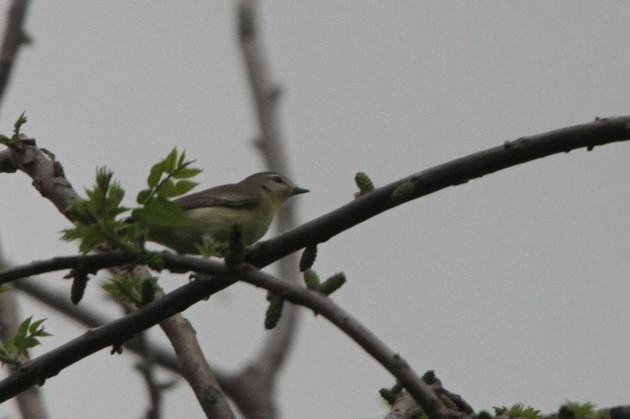 Philadelphia Vireo (Photo by Nathan Goldberg)