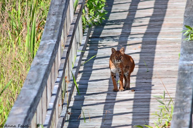 Bobcat at Ocklawaha Prairie Restoration Area