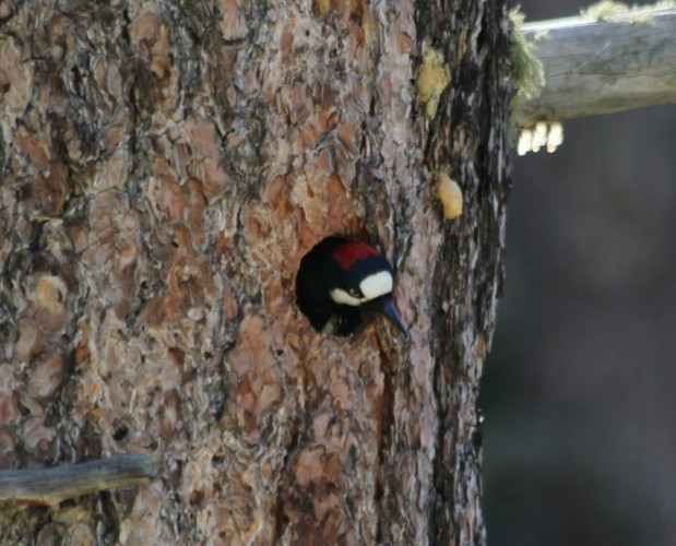 Adult Acorn Woodpecker checking out the world beyond her nest - AZ, 2014 (photo by Steve Brenner)