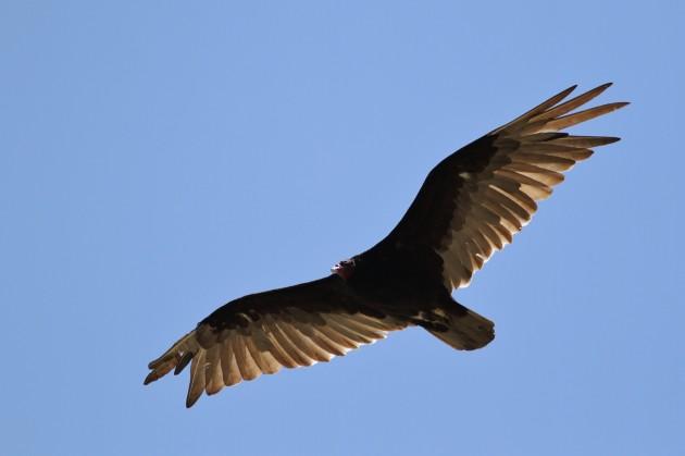 Turkey Vulture gliding over the City of Rocks, Idaho (Photo by Alex Lamoreaux)