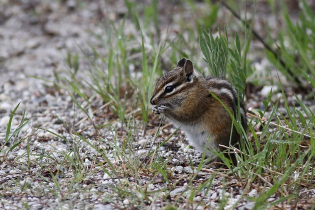 Red-tailed Chipmunk near Headquarters, Idaho (Photo by Alex Lamoreaux)