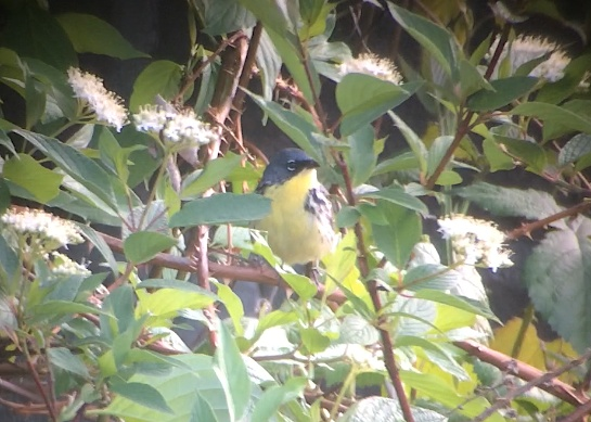 Kirtland's Warbler- Digiscoped with Leica APO Televid 65mm scope using iPhone 5s and a Phone Skope adapter.