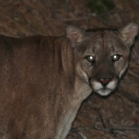 The second Mountain Lion, just 10ft away, staring back at me. (Photo by Alex Lamoreaux)