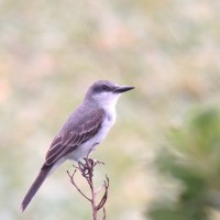 Gray Kingbird at Bubali Bird Sanctuary on 28 June 2014. Digiscoped with an iPhone 5 + Vortex Razor HD 20-60x85 & Phone Skope Adapter. iPhone photo by Tim Schreckengost.