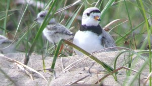 Great Lakes Piping Plover with chick in Michigan - Digiscoped using iPhone 4, Leica APO Televid 77, & Phoneskope adaptor - Photo by Jordan Rutter