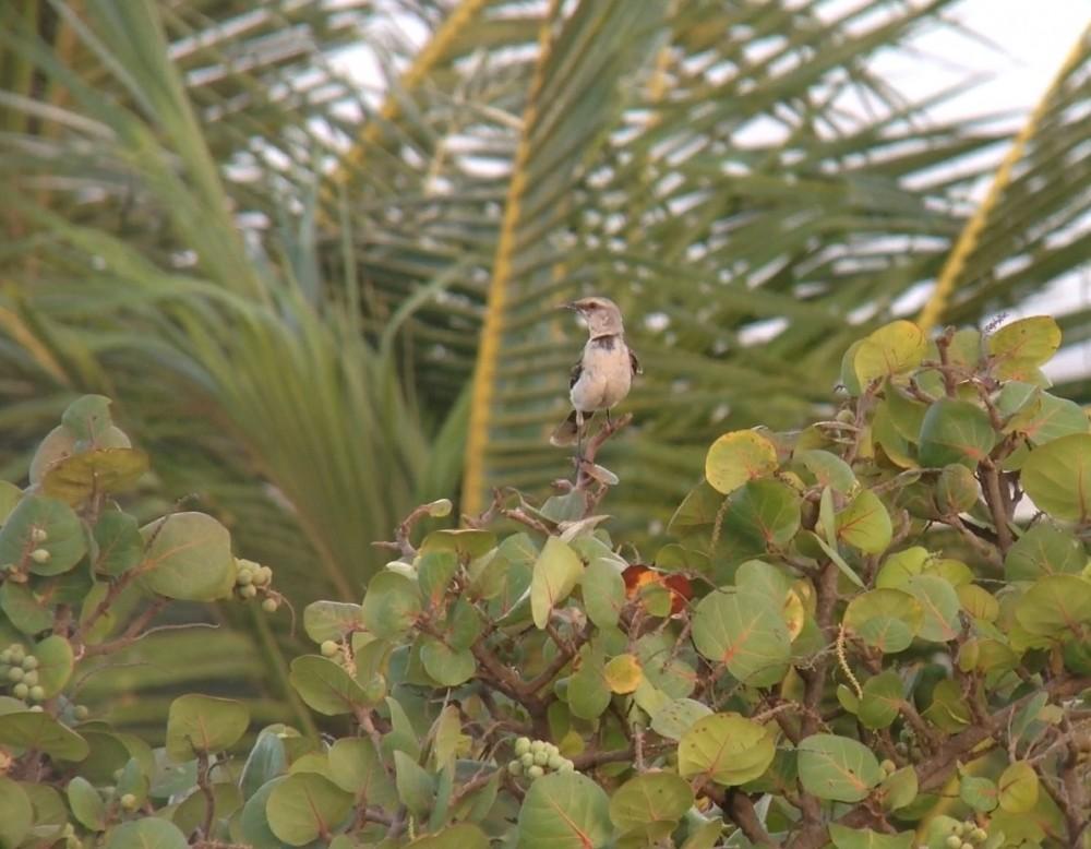 Tropical Mockingbird at Bucuti & Tara Resorts, Aruba - digiscoped with an iPhone 5 + Vortex Razor HD 20-60x85 & Phone Skope Adapter. iPhone photo by Tim Schreckengost.