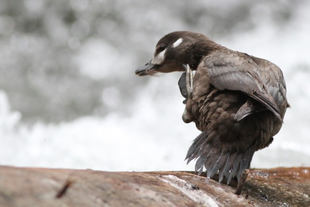 Harlequin Duck preening and grooming (Photo by Alex Lamoreaux)