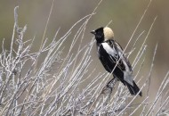 Bobolink (Photo by Alex Lamoreaux)