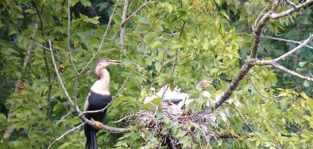 Anhinga nest along Blackwater Rd., Chesapeake County, VA on 11 August 2014. Digiscoped with an iPhone 5 + Vortex Razor HD 20-60x85 & Phone Skope Adapter using the Horizon app for iOS. iPhone photo by Tim Schreckengost.