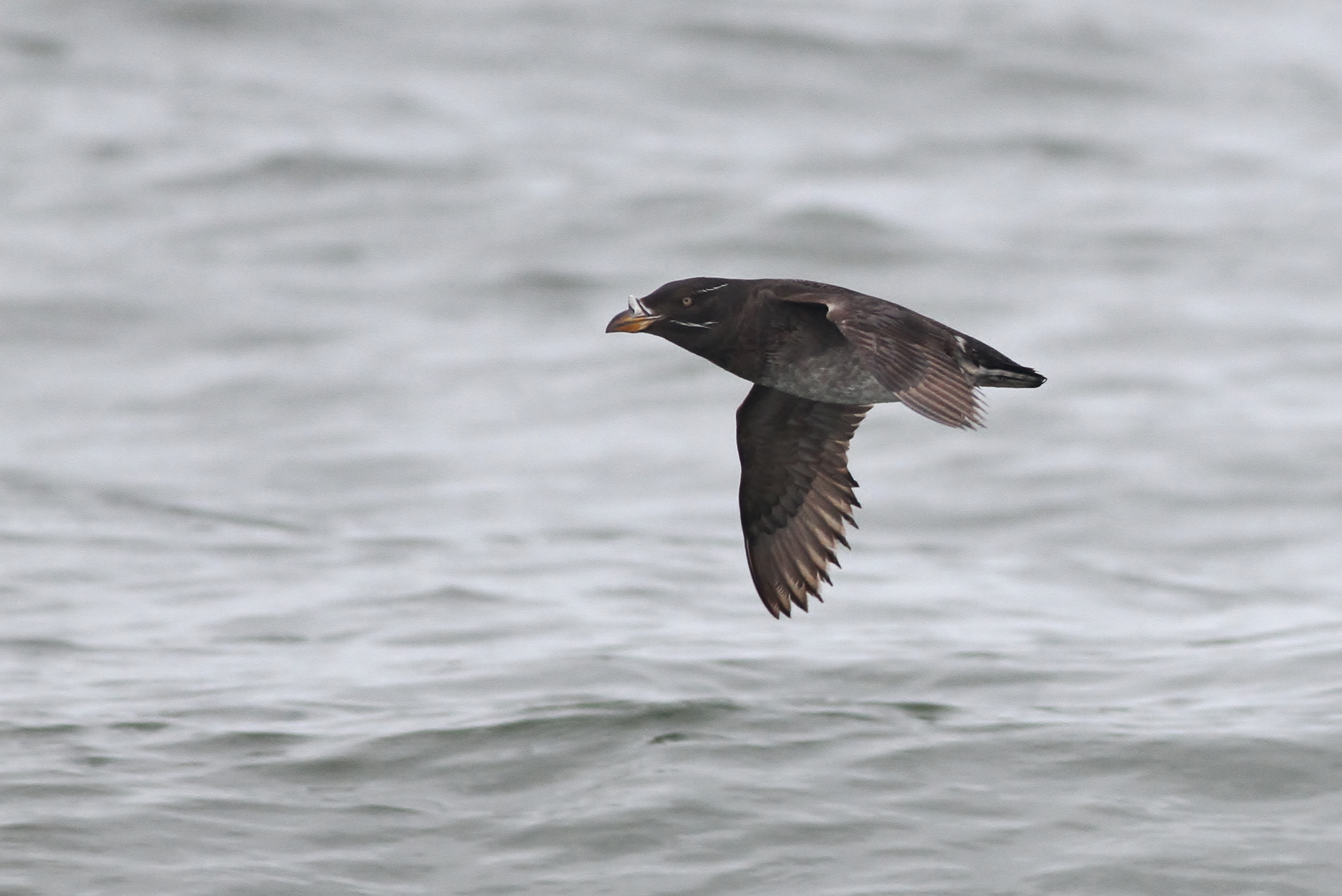 Rhinoceros Auklet flying past offshore Westport, Washington (Photo by Alex Lamoreaux0