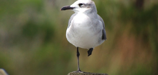 Laughing Gull at Delaware Seashore State Park, Sussex Co, DE on 23 August 2014. Digiscoped with an iPhone 5 + Vortex Razor HD 20-60x85 & Phone Skope Adapter. iPhone photo by Tim Schreckengost.