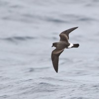 Band-rumped Storm-Petrel (Photo by Alex Lamoreaux)