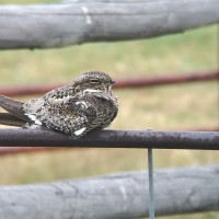 Common Nighthawk (male) photographed using iPhone 5S and Leica Ultravid 8X42 binoculars. (Photo by Alex Lamoreaux)