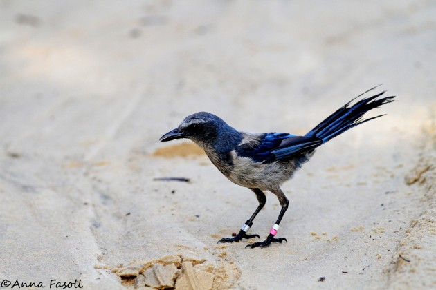 Florida Scrub-Jay, Ocala National Forest