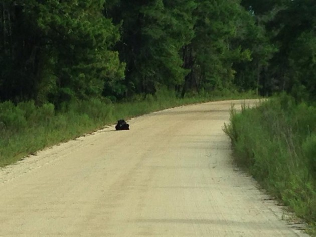 Black Bear in Ocala National Forest; photo by Kyle Titus