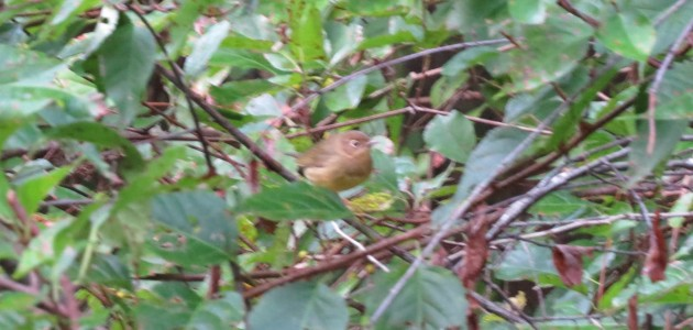 Connecticut Warbler at Tuckahoe State Park, Caroline County, MD on 20 September 2014. Photo by Tim Schreckengost.