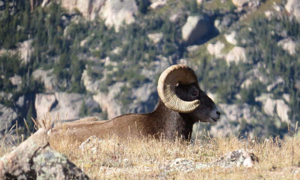 Throngs of tourists couldn't get enough of a very chill herd of Bighorns.