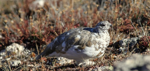 Maybe THE bird Rocky Mountain National Park, three White-tailed Ptarmigan were still relatively cooperative along the spur trail from Medicine Bow Curve. Photo by Mike McCloy.