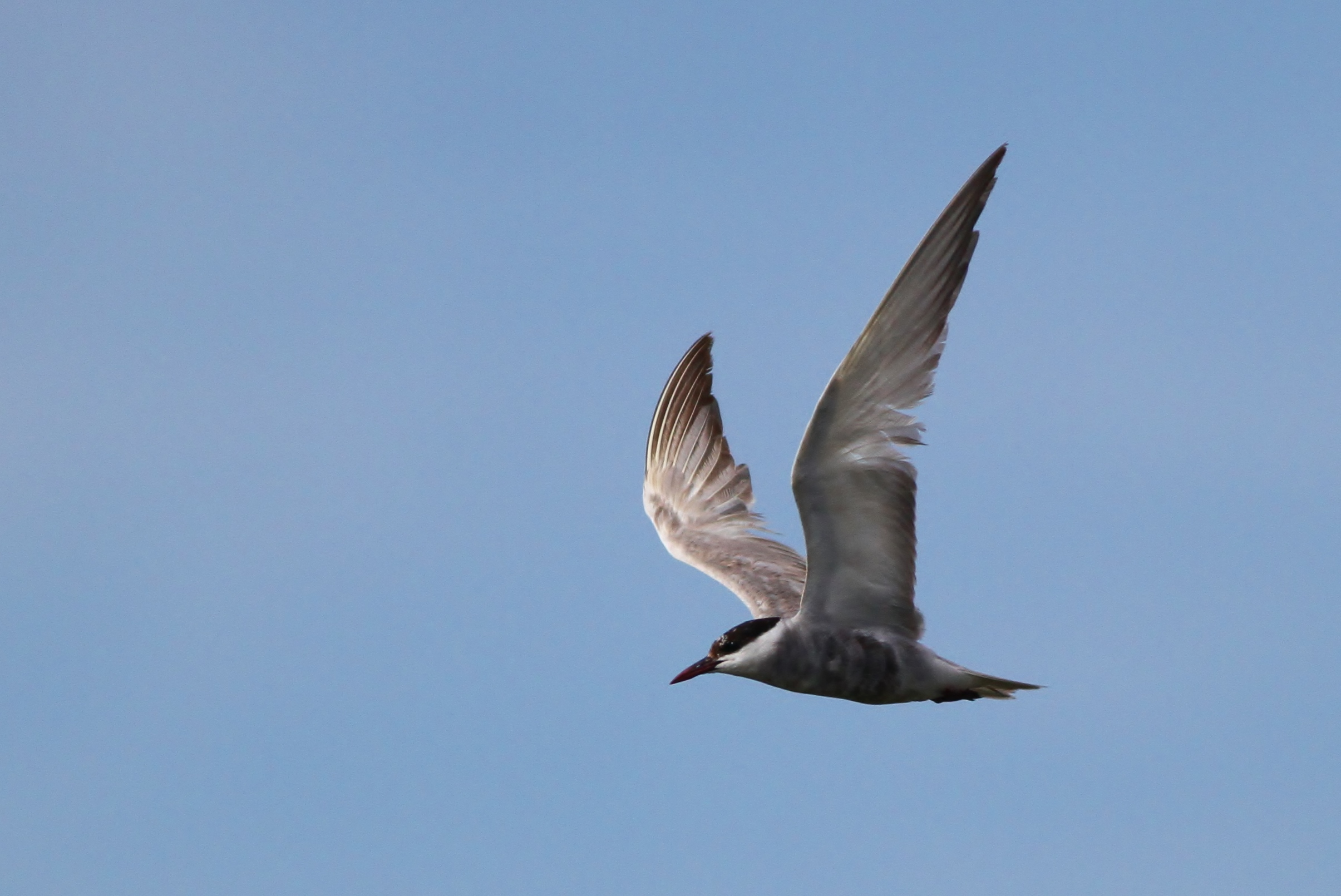 Whiskered Tern (molting adult)--3rd ABA record, Cape May Point SP, NJ (Photo by Alex Lamoreaux)