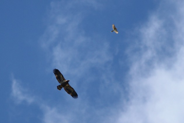 Juvenile Bald Eagle soaring with an adult Cooper's Hawk above the hawkwatch (Photo by Alex Lamoreaux)