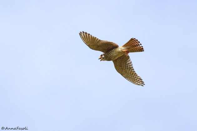 Southeastern American Kestrel - female (adult)
