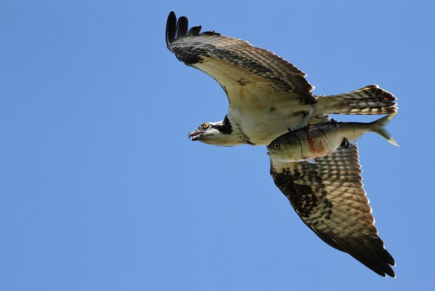 Osprey with an Atlantic Menhaden - a favorite fish of Osprey at the Cape (Photo by Alex Lamoreaux)