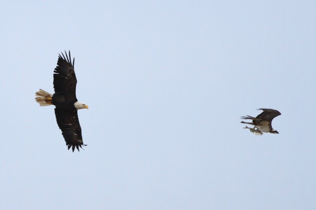 One of the local Bald Eagles chasing an Osprey for it's fish! (Photo by Alex Lamoreaux)