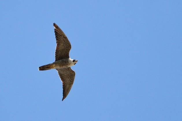 The second half of this month has been great for Peregrine Falcons, with a single-day record high-count of 124 migrating past on the 27th! This is an adult bird. (Photo by Alex Lamoreaux)