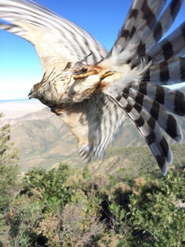 Sweet freedom! Immature sharp-shinned hawk after being banded and measured (photo by Steve Brenner)