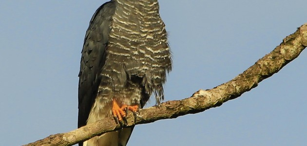 Hook-billed Kite (Photo courtesy of the Belize Raptor Research Institute)