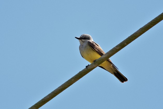 Western Kingbird (Photo by Alex Lamoreaux)