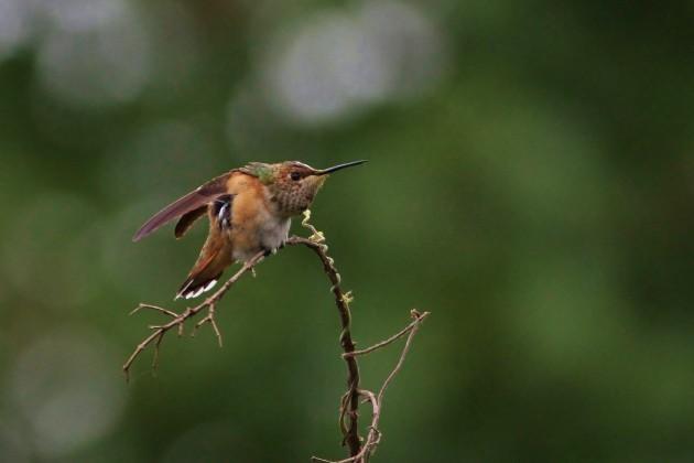 Rufous Hummingbird - adult female (Photo by Alex Lamoreaux)