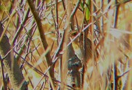 This Nelson's Sparrow flushed right up into this bare dogwood, posing plenty long enough to get a couple iPhone-scoped images. Frog Pond, Bald Eagle SP, 10/11/14 (Photo by Matt Sabatine)