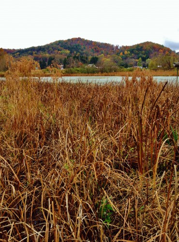 Prime Nelson's Sparrow habitat: large expanses of cattails and other marsh vegetation lining a large pond. Mill Hall Wetlands, 10/21/14 (Photo by Matt Sabatine)
