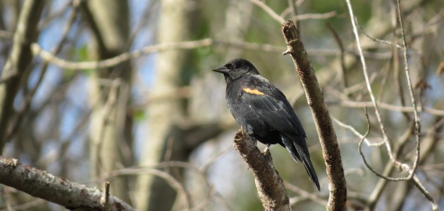 Red-winged Blackbird at Prime Hook NWR on 18 October 2014. Photo by Tim Schreckengost.
