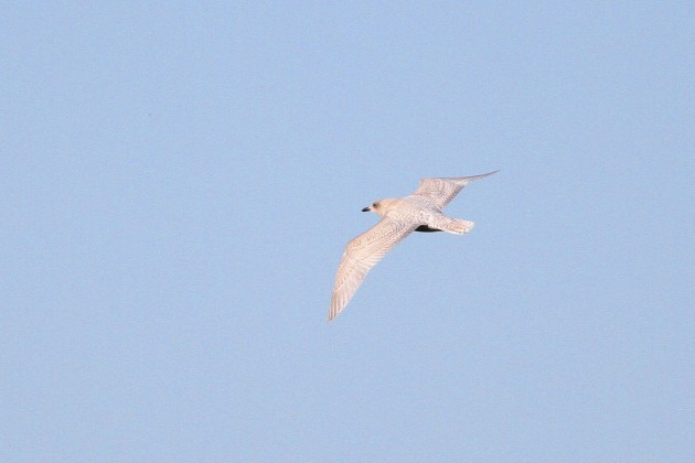 First year Iceland Gull passing the Cape May Hawkwatch (Photo by Alex Lamoreaux)