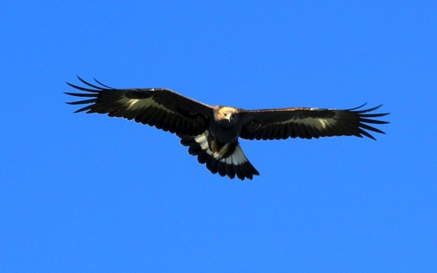 Golden Eagle over observation in the Manzanos (photo by Steve Brenner)