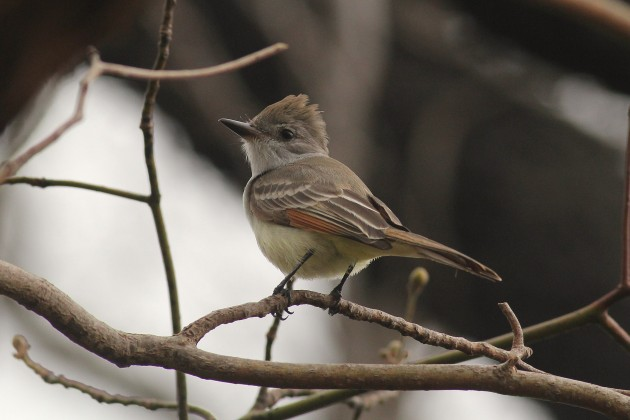 Ash-throated Flycatcher (Photo by Alex Lamoreaux)