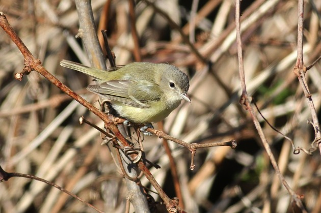 Bell's Vireo (Photo by Alex Lamoreaux)
