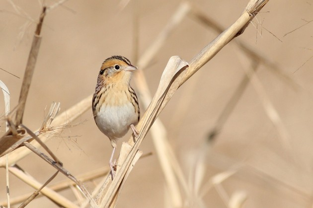 Le Conte's Sparrow (Photo by Alex Lamoreaux)