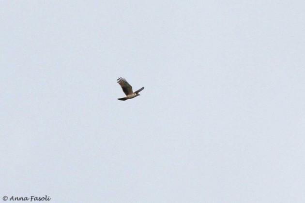 Hook-billed Kite - juvenile