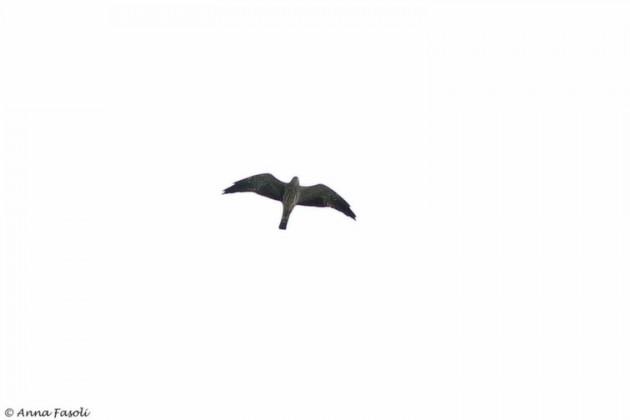 Mississippi Kite - juvenile