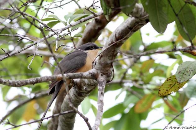 Mangrove Cuckoo; Cattle Landing, Belize