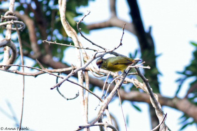 Olive-backed Euphonia (Photo by Anna Fasoli)