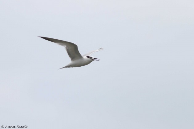Sandwich Tern (Photo by Anna Fasoli)